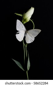 white butterfly on white bud isolated on black background