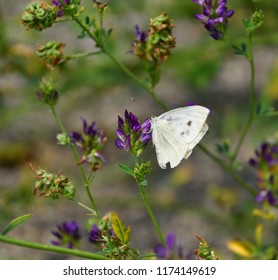 A white butterfly is on a flower with purple petals, in a green garden full of flowers. The wings of the insect are white with some dark spots, and the butterfly is in profile.