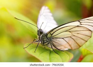white butterfly on green leaf macro in sun
