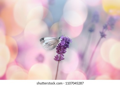 White butterfly on lavender flower, selective focus on butterfly - beautiful nature