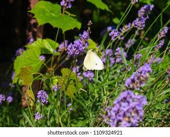 White butterfly on lavender flower.