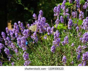 White butterfly on lavender flower. The lavender bush latin name is Lavandula.