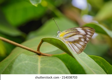 White Butterfly On The Leaf