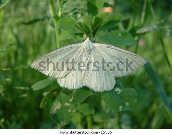 white butterfly on the trefoil