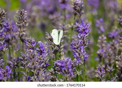 Ein weißer Schmetterling sitzt auf einem violetten, blühenden Lavendel.