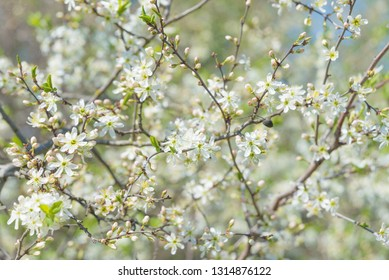 White Butterfly sitting on a branch of blossoming uncultivated blackthorn tree covered with white floweres in the spring garden
