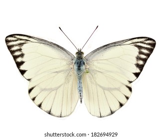 White Butterfly (Striped Albatross, Appias olferna) isolated on white background