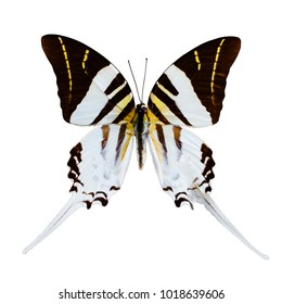 White butterfly tropical Graphium androcles, Indonesia, isolated on white background