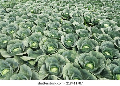 white cabbage field
