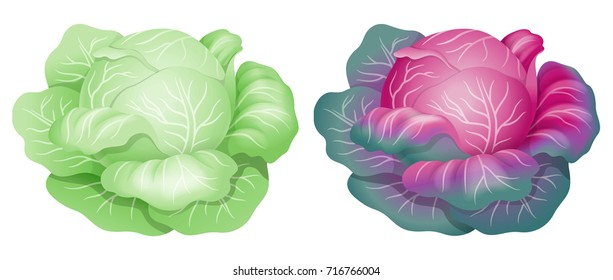 White cabbage. Realistic vector illustration. Isolated on white