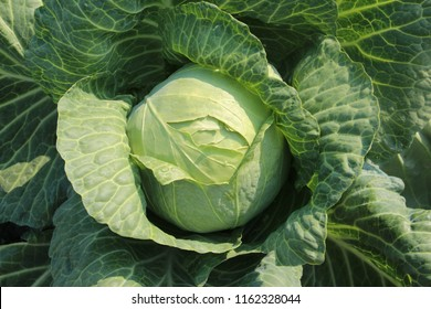 "white cabbage. Cabbage variety ""Moscowskaya"". Photo without treatment"