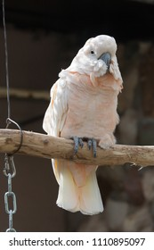White cackatoo in the Moscow Zoo