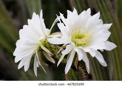 Night blooming cactus images stock photos vectors shutterstock white cactus flowers mightylinksfo
