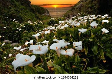 White Cala Lilies blooming on hills near the ocean in California. Spring flowers on sunset. Monterey. California. United States of America