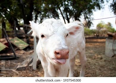 A white calf makes a cute face.