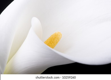 White calla with elegant curves close-up