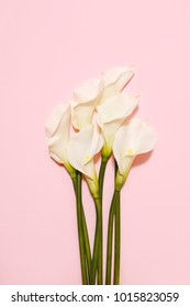 white calla lilies isolated on pink background top view