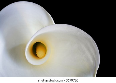 White calla lily in closeup, with black background.