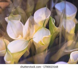 White calla lily corner in day light.
