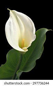White calla lily flower in fool bloom with green leave isolated on Black background