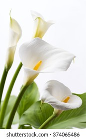 White calla lily flowers in front of white background in vertical composition