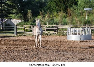 White Camargue Horse in a farm, France