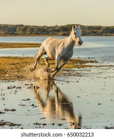 White Camargue Horse galloping across the swamp in Parc Regional de Camargue - Provence, France