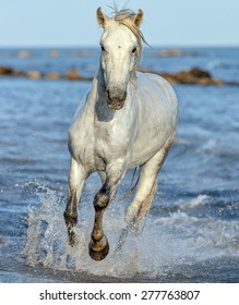 White Camargue Horse galloping along the beach in Parc Regional de Camargue - Provence, France