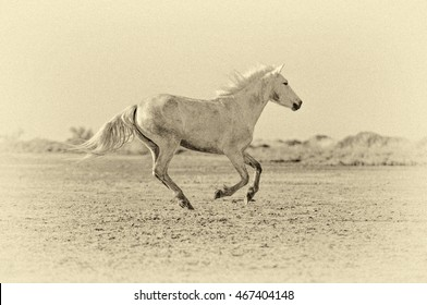 White Camargue Horse galloping along the beach in Parc Regional de Camargue - Provence, France (stylized retro)
