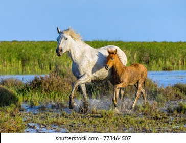 White Camargue Horse with his colt that is always born a brown color. The swamps in nature reserve in Parc Regional de Camargue - Provence, France