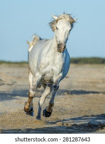White Camargue Horse running on the beach in Parc Regional de Camargue - Provence, France