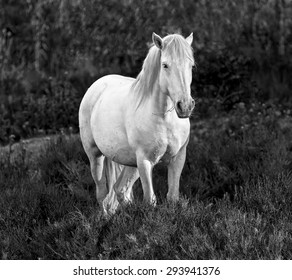 White Camargue Horse standing in the swamps nature reserve in Parc Regional de Camargue - Provence, France (black and white)