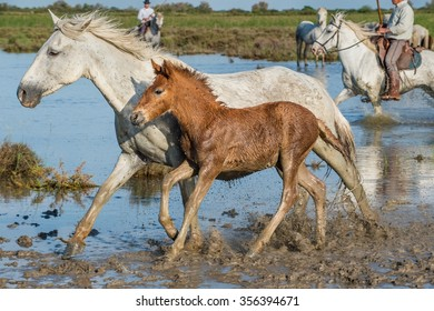 White Camargue Horses with foals run on the water in Parc Regional de Camargue - Provence, France