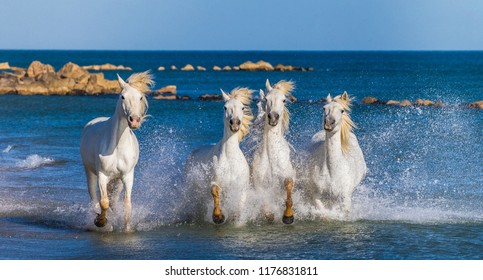 White Camargue Horses galloping along the sea beach. Parc Regional de Camargue. France. Provence.