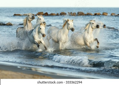 White Camargue Horses galloping along the beach in Parc Regional de Camargue - Provence, France