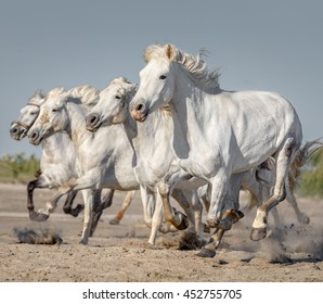 White Camargue Horses galloping along the beach in Parc Regional de Camargue in the sunny day - Provence, France
