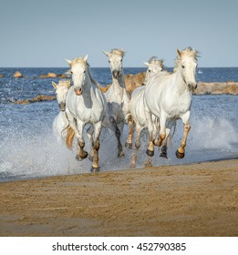 White Camargue Horses galloping along the beach in Parc Regional de Camargue in the sunny day - Provence, France.