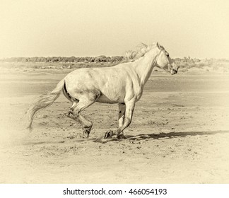 White Camargue Horses galloping along the beach in Parc Regional de Camargue - Provence, France (stylized retro)