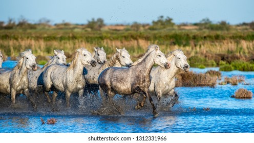 White Camargue Horses galloping on the water.