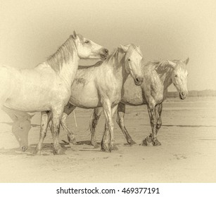 White Camargue Horses on the beach in Parc Regional de Camargue - Provence, France (stylized retro)
