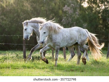 White Camargue Horses on the natural  background. Camargue.France