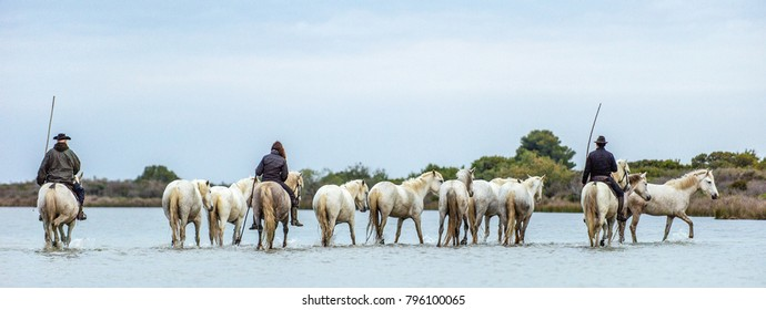 White Camargue Horses . Riders and White horses of Camargue in the water of river. Parc Regional de Camargue . France