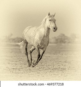 White Camargue Horses run in the swamps nature reserve in Parc Regional de Camargue - Provence, France (stylized retro)