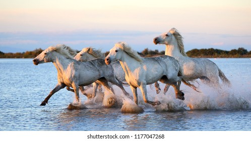 White Camargue Horses are running along the water in a shallow lagoon with beautiful evening light. Parc Regional de Camargue. France. Provence.