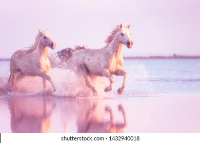 White Camargue horses of a sea run gallop in the water in soft sunset light with splash and reflection, travel background, National park Camargue, Bouches-du-rhone, Provence-Alpes-Cote d'Azur, France