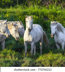 White Camargue Horses standing in the swamps of the Nature reserve in the Parc Regional de Camargue in the evening - Provence, France