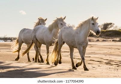 White Camargue horses are walking along the sand. Parc Regional de Camargue. France. Provence.