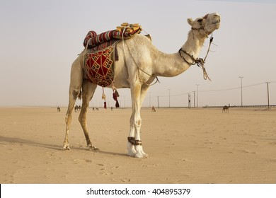 White camel in the middle of kuwait desert