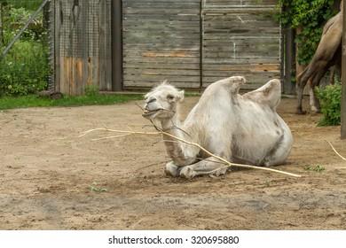 white camel in zoo