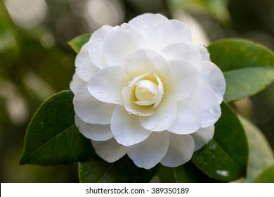 White Camellia Flower in Bloom with water droplets during Springtime Closeup Macro